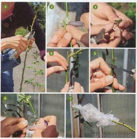 Как сделать из черенков розы