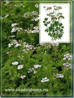 Кориандр-выращивание и применение