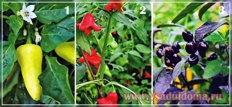 Комнатное растение огонек фото